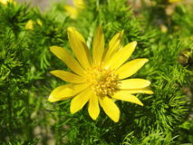 Yellow flowe. Beautiful yellow flower in garden, Lithuania Royalty Free Stock Image