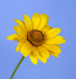 Yellow flower. On the blue background Stock Image