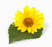 Yellow flower. With a green leaf on the white background Stock Image