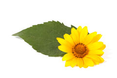 Yellow flower. With a green leaf on the white background Royalty Free Stock Images
