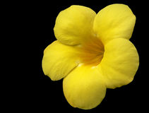 Yellow flower. A yellow flower on black background Royalty Free Stock Photography