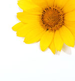 Yellow flower. On the white background Stock Photography