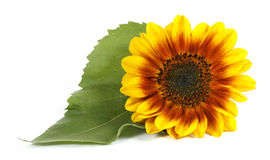 Yellow flower. With a green leaf on the white background Stock Photography
