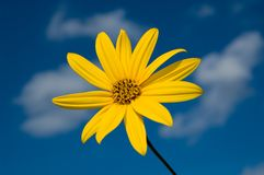 Yellow Flower. Against blue skies and white clouds Royalty Free Stock Photos