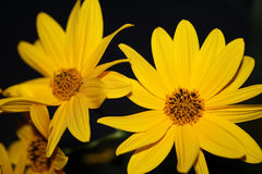 Yellow flower. This is a shot of few yellow flower by night Stock Photography