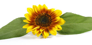 Yellow flower. With a green leaf on the white background Royalty Free Stock Photos