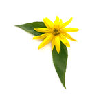 A yellow flower. And two green leaves Royalty Free Stock Photo