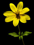 Yellow Flower. A small yellow flower on a black background royalty free stock photo