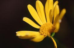 Yellow flower. Euriop in full bloom. Yellow petals and yellow center Stock Photo