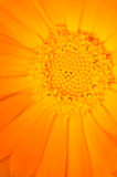 Yellow flower. Yellow calendula-flower - close up Royalty Free Stock Photography