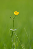 Yellow flower. Green grass background Royalty Free Stock Photography