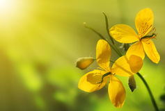 Yellow Flower. In the garden stock photos