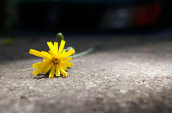 Yellow flower. In the concrete floor royalty free stock photos