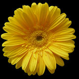 Yellow Flower. Isolated on black background stock photography