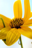 Yellow flower. Closeup of a yellow flower stock photography