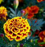 Yellow flower. A flower, its color is yellow and red stock photography