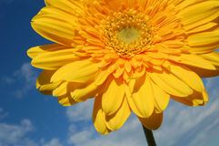 Yellow flower. Against the sky Stock Photos