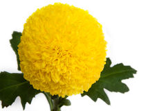 Yellow flower. Yellow flower on white background Royalty Free Stock Images
