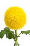 Yellow flower. Royalty Free Stock Images