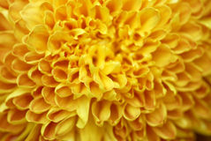 Yellow flower. Yellow color flowers in the gardens royalty free stock images
