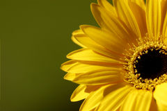 Yellow Flower. Summer bright yellow flower shot with a macro lens royalty free stock photography