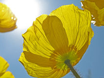 Yellow flower. Against bright blue sky Stock Images
