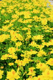Yellow flower in garden plant Royalty Free Stock Photo