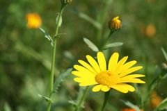 Yellow flower. With green background Stock Photography