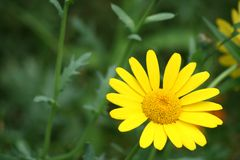 Yellow flower. With green background Royalty Free Stock Photo