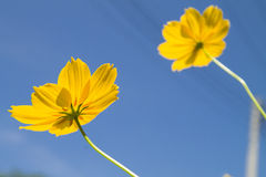 Yellow Flower royalty free stock images