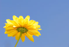 Yellow flower. Single yellow flower with blue sky. Image with copy space royalty free stock photography