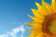 Yellow flower. An image of sunflower on background of sky Royalty Free Stock Images