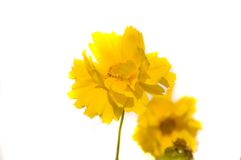 Yellow_Flower Foto de Stock