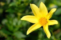 Yellow flower. On green background, flower macro Stock Photos