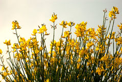 Yellow Flower. In sunset field stock photography