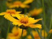 Yellow flower. Flower of the sun stock image