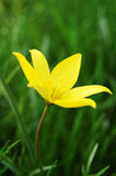 Yellow flower. Beautiful yellow flower on the green Royalty Free Stock Photos
