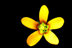 Yellow flower. Bright yellow flower on black background royalty free stock image