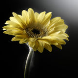 Yellow flower. In studio lighting Royalty Free Stock Image