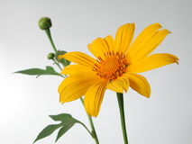 Yellow flower. With green leaf Royalty Free Stock Image