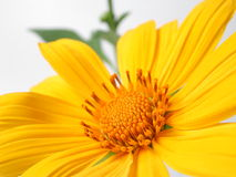 Yellow  flower. Clean yellow  flower Royalty Free Stock Photography