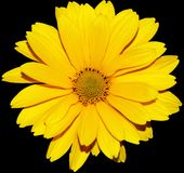 Yellow flower. With top on a black background Royalty Free Stock Photos