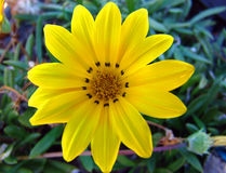 Yellow Flower. Closeup Royalty Free Stock Photography