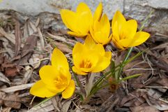 Yellow flower. Of crocus Royalty Free Stock Photos