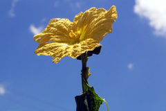 Yellow flower in bloom. Low angle view of yellow flower in bloom with blue sky and cloudscape background Stock Photo