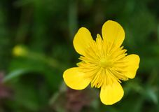Yellow flower. In a meadow Royalty Free Stock Photography