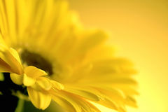 Yellow flower. Flower Royalty Free Stock Image