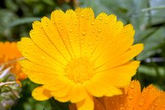 Yellow flower. With droplets.  conpcet royalty free stock photo