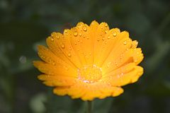 Yellow flower. With droplets.  concept stock photo
