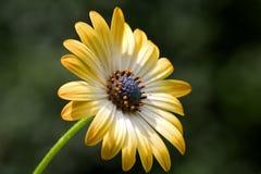 Yellow flower. Beautiful yellow flower Royalty Free Stock Photo